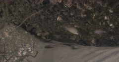 Adults and juveniles Sydney cardinalfish hovering on river mouth rock wall, Stock Footage