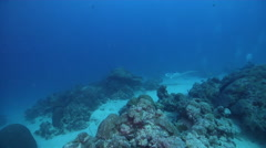 Reef manta ray swimming in lagoon entrance channel, Manta alfredi, HD, UP32751 Stock Footage