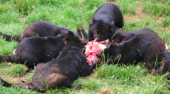 Tasmanian Devils eating Stock Footage