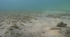 Dusky flathead ambush predator waiting on mixed algae and seagrass muck on sand, Stock Footage