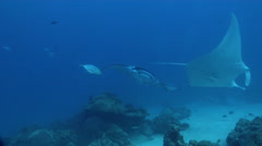 Reef manta ray swimming in lagoon entrance channel, Manta alfredi, HD, UP32760 Stock Footage