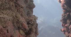 False stonefish ambush predator waiting, Centrogenys vaigiensis, 4K UltraHD, Stock Footage