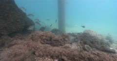 Adults and juveniles Yellowfin surgeonfish swimming on river bottom with debris Stock Footage