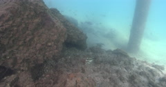 Crested morwong feeding on river bottom with debris covered in silt and oysters. - stock footage