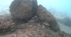 Moses perch waiting to be cleaned on river bottom with debris covered in silt Stock Footage