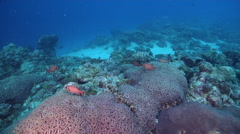 Bigscale soldierfish hovering in lagoon entrance channel, Myripristis berndti, Stock Footage