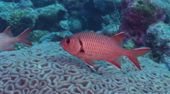 Bigscale soldierfish swimming in lagoon entrance channel, Myripristis berndti, Stock Footage