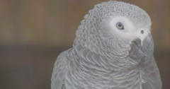 Beautiful Grey Feathers Cover a Parrot Body Stock Footage