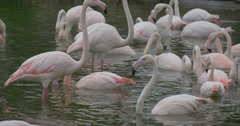 Group of Pink Flamingos Feed in Water in the Summer Forest Stock Footage