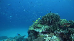 Ocean scenery lots of fish around coral head cleaning station, in lagoon Stock Footage