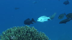 Topsail chub cleaning and being cleaned in lagoon entrance channel, Kyphosus Stock Footage