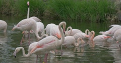 Group of Flamingos Resting in a Small Pond With Green Grass Stock Footage