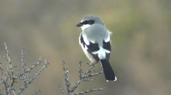 Loggerhead Shrike Songbird at Big Bend National Park in Texas - stock footage