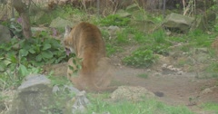 Big Red Puma Smells a Violet Flowers Stock Footage