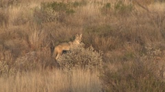 Coyote Running in Chihuahuan Desert at Big Bend National Park Stock Footage