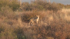 Lone Coyote at Big Bend National Park Chihuahuan Desert Stock Footage