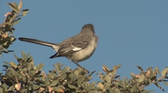 Northern Mockingbird at Guadalupe National Park Texas Stock Footage