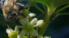 slow motion honey bee collecting pollen - stock footage