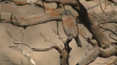 Bluebird at Guadalupe National Park in Texas Stock Footage