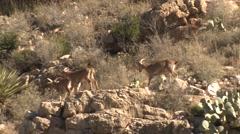 Barbary Sheep in Desert Running Along Cliff at Carlsbad Caverns - stock footage