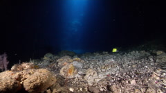 Longnose butterflyfish hunting on deep water wall and cavern tunnel, Forcipiger Stock Footage