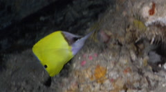 Longnose butterflyfish swimming on deep water wall and cavern tunnel, Forcipiger Stock Footage