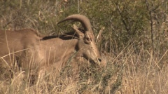 Barbary Sheep Feeding Grazing at Carlsbad Caverns National Park - stock footage