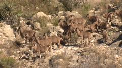 Herd of Barbary Sheep at Carlsbad Caverns National Park New Mexico - stock footage