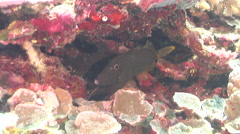 Yelloweye filefish hiding on deep water wall and cavern tunnel, Cantherhines Stock Footage