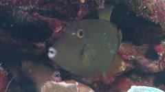 Yelloweye filefish hiding on semi-protected coral slope, Cantherhines dumerili, Stock Footage
