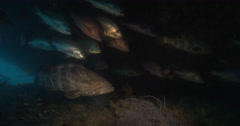 Orange-spotted grouper hiding and schooling on deep historic shipwreck. Stock Footage