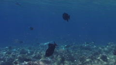 Black triggerfish swimming on very shallow reef surge zone, Melichthys niger, Stock Footage