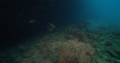 Six-banded angelfish feeding on deep historic shipwreck teaming with marine Stock Footage