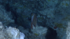 Copper sweeper swimming in cavern, Pempheris oualensis, HD, UP32839 Stock Footage