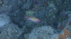 Goldlined squirrelfish behaving nervously on deep water wall and cavern tunnel, Stock Footage