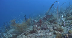 Olive sea snake feeding on deep historic shipwreck teaming with marine life, Stock Footage