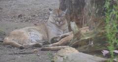 Big Red Puma Sleeps Under a Tree Stock Footage