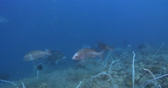 Giant trevally swimming on deep historic shipwreck teaming with marine life, Stock Footage