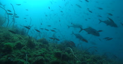 Snubnose dart swimming on deep historic shipwreck teaming with marine life. Stock Footage