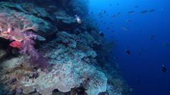 Ocean scenery exploring current-swept wall with fans and soft corals, ends on a Stock Footage