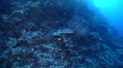 Sabre squirrelfish fleeing on protected deep wall, Sargocentron spiniferum, HD, Stock Footage