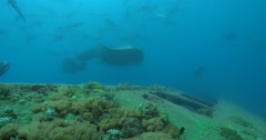 Stingray courting on deep historic shipwreck. Stock Footage