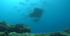 Unidentified stingray courting on deep historic shipwreck teaming with marine Stock Footage