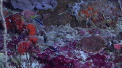 Adults and juveniles Chiseltooth wrasse swimming on protected deep wall, Stock Footage