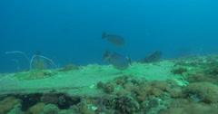 Java rabbitfish feeding on deep historic shipwreck teaming with marine life, Stock Footage