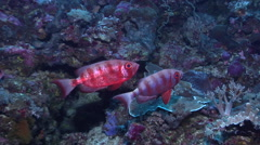 Crescent-tail bigeye hovering on seaward wall at dusk, Priacanthus hamrur, HD, Stock Footage
