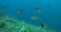 Crimson snapper swimming on deep historic shipwreck teaming with marine life, Stock Footage