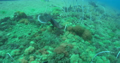 Humphead maori wrasse hunting on deep historic shipwreck teaming with marine Stock Footage