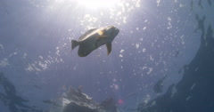 Blunthead batfish swimming in bluewater, Platax teira, 4K UltraHD, UP34731 Stock Footage