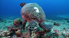 Hawksbill turtle swimming on exposed seaward wall and plateau, Eretmochelys Stock Footage